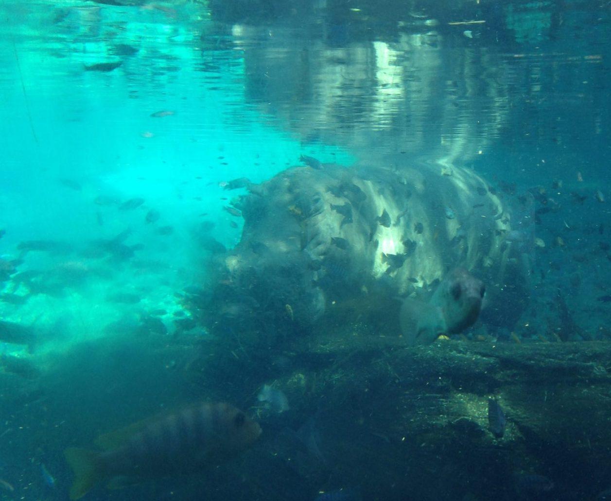 animal-kingdom-hippo